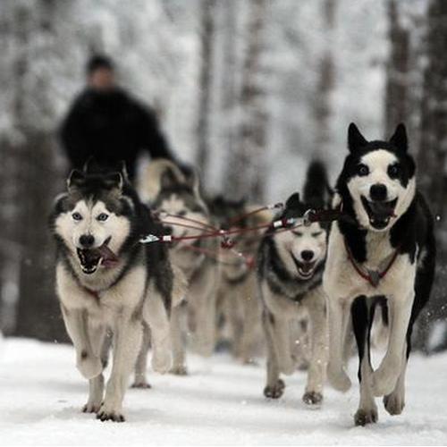 Бизнес на собачьих упряжках и его организация