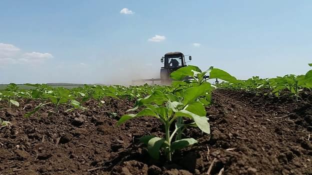 выращивание подсолнуха